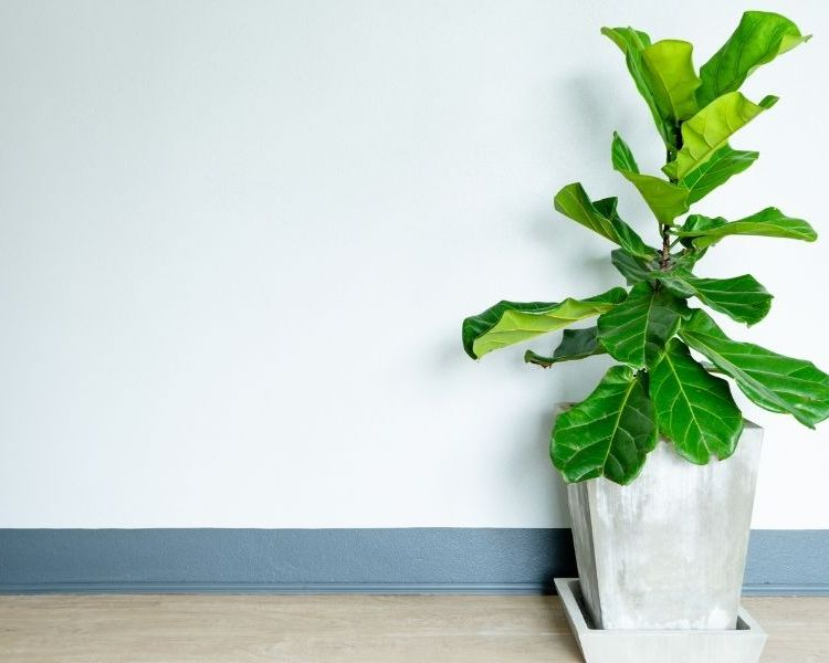 fidde leaf fig