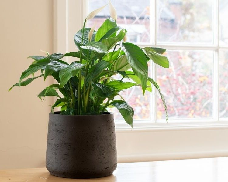 peace lily office