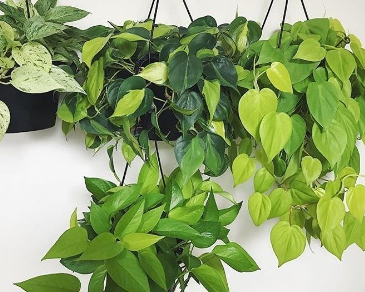 philondendron green office