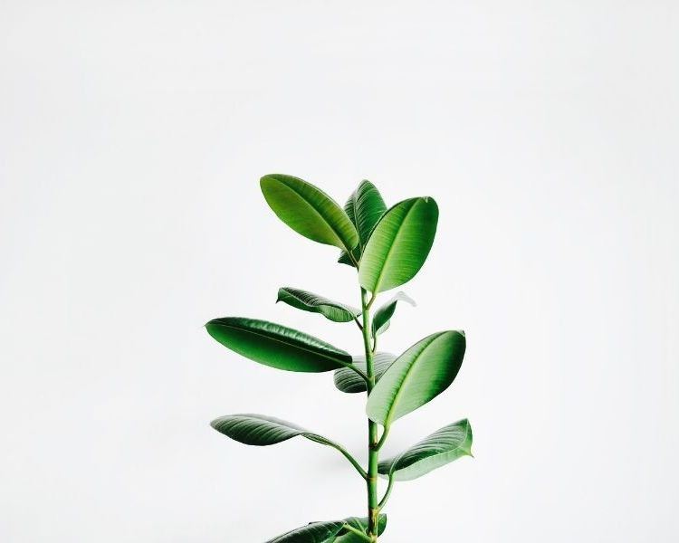 rubber tree plant office
